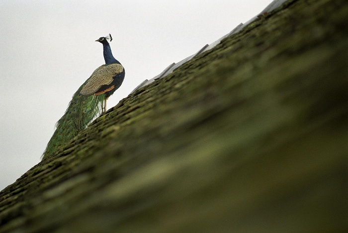 January 2006. Peacock atop the car-house.