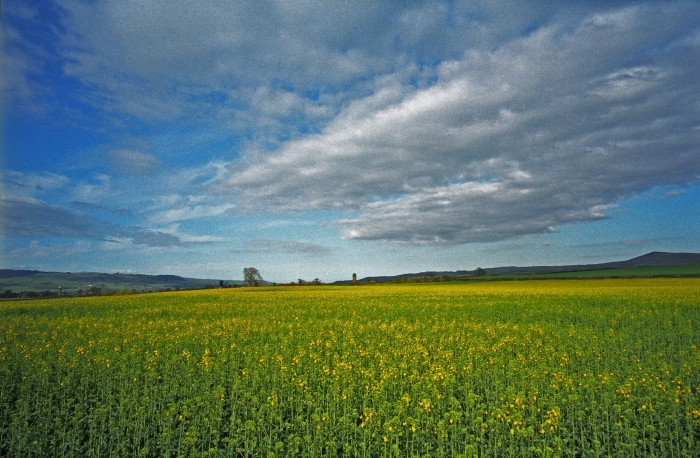 Rape Field Near Montgomery